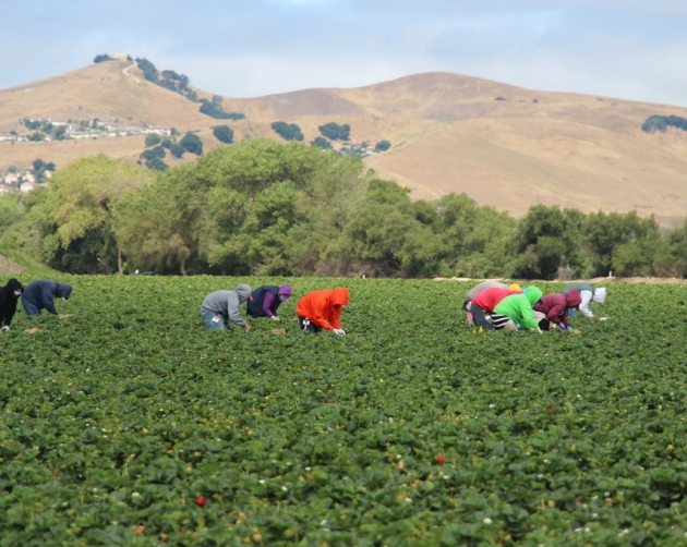The human hands behind California's strawberry industry. #CAStrawberries