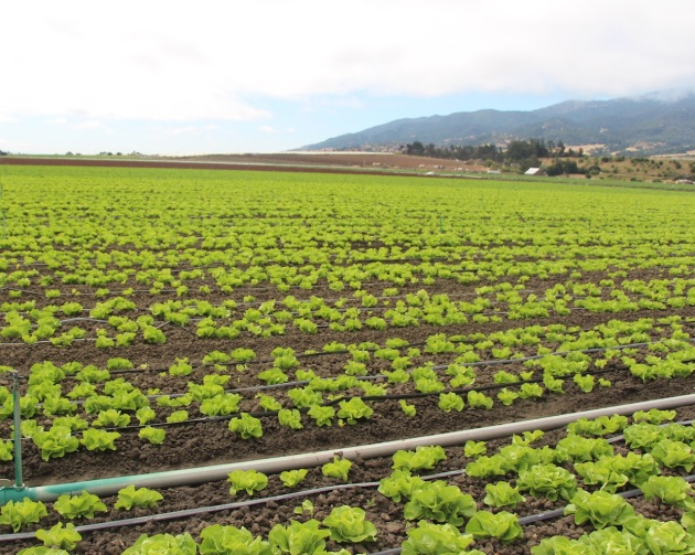 Rows and rows of butterhead lettuce in Salinas, CA